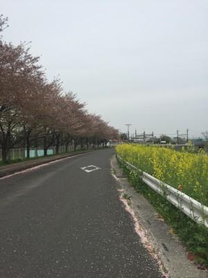 近所の菜の花と桜道路