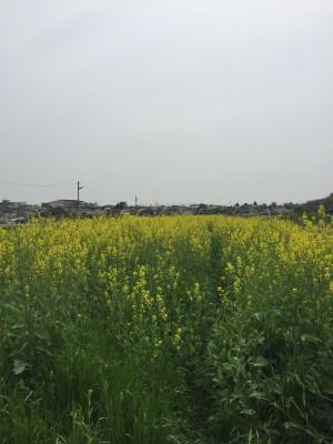 近所の菜の花畑