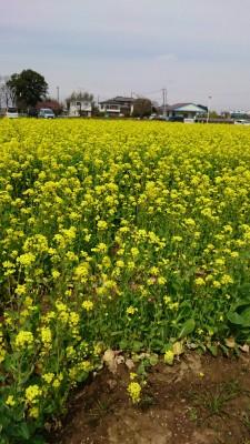 菜の花畑3.23