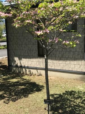 杉戸町:公園、ハナミズキ